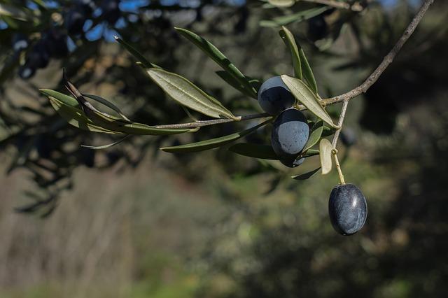 traitement des oliviers